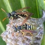 Wasp Removal Pest Controllers