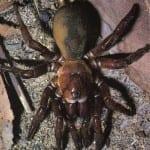 sigillate trapdoor spider