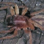 Stout Sac Spider